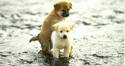 狗狗如何选择配偶?狗狗选择配偶的方法