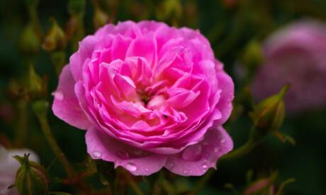 """素有""""国色天香""""美称的牡丹什么时候播种?怎么种植?"""